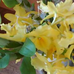 猫のいる生活/にゃんこ同好会/ねこ デンドロビウムが満開で 綺麗に咲いていた…(7枚目)