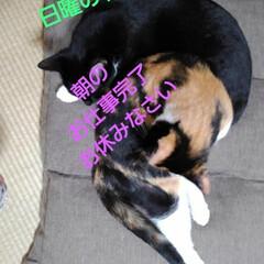 リミアペット同好会/ねゃんこ同好会/猫/姉弟/フォロー大歓迎 平和な日曜の朝