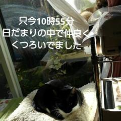 リミアペット同好会/猫/姉弟/昼寝/リミアの冬暮らし 午前中、居間のこの場所は お日様が差し込…