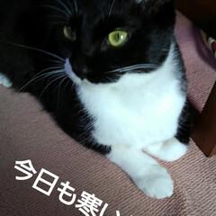 にゃんこ同好会/にゃんこ日めくり/白黒猫 おはようございます🐱 2月6日の朝です …(2枚目)