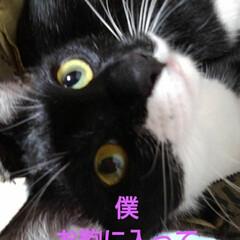 白黒猫/猫/フォロー大歓迎/LIMIAペット同好会/にゃんこ同好会/うちの子ベストショット お出かけ前の 紗夢の作戦