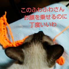 猫/シャム/フォロー大歓迎/お昼寝 昨日の出来事 編み物の途中でちょっと置い…