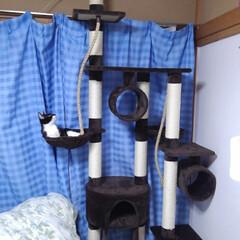 猫/お手伝い/キャットタワー/フォロー大歓迎/にゃんこ同好会/夏のお気に入り 去年8ヶ月になった頃 二階のキャットタワ…(9枚目)