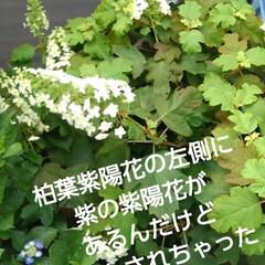 にゃんこ同好会/花のあるくらし/ねこ るっちゃんがベランダから 紫陽花を覗いて…(5枚目)