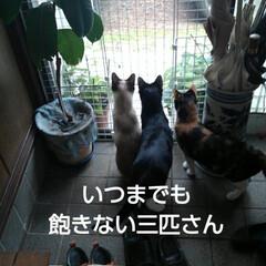 三姉弟/猫のいる生活/にゃんこ同好会/見張り隊 玄関でご機嫌のお眺め隊三匹(4枚目)