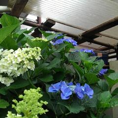 花のある暮らし るっちゃんのみていた紫陽花 上からだと上…(2枚目)