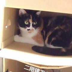 猫のいる生活/にゃんこ同好会/ねこ お父さんが同じような箱を 重ねて置いたら…(1枚目)