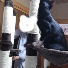 猫/お手伝い/キャットタワー/フォロー大歓迎/にゃんこ同好会/夏のお気に入り 去年8ヶ月になった頃 二階のキャットタワ…(3枚目)
