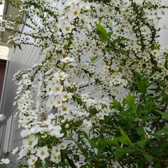 お出迎え/庭の花たち/春の花/春のフォト投稿キャンペーン/フォロー大歓迎/風景/... 庭に咲いている春の花 第2段  雪柳が玄…