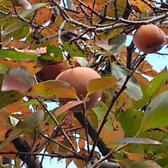 風景/秋 地主さんちの柿を頂きました  富有柿です…(3枚目)