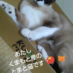猫のいる暮らし/シャム猫/ねこ/にゃんこ同好会 るっちゃんがトマトの なくなった空箱に入…(1枚目)