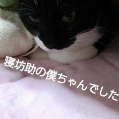 リミアペット同好会/白黒猫/リミアの冬暮らし/フォロー大歓迎 お寝坊の僕ちゃんの手(2枚目)