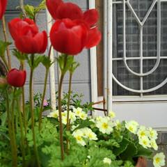 花/花のある生活/ガーデニング/花のある暮らし/ガーデン雑貨/ガーデニング雑貨/... きょうも一日お疲れ様🌸🌸🌸  玄関先に咲…(2枚目)