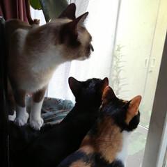 三姉弟猫/仲良し/猫派/フォロー大歓迎/LIMIAペット同好会/にゃんこ同好会 あたしも見る 見る 一緒に見る~🐱🐱🐱(2枚目)