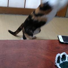 猫のいる暮らし/ねこ/にゃんこ同好会 新しいおもちゃで遊んでもらい ご満悦の3…(8枚目)