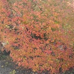 風景/ドウダンツツジ/リミアの冬暮らし 真っ赤な丸型植え込みのドウダンツツジ
