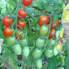 風景 畑のプチトマトが 可愛くなってます  蝉…(1枚目)