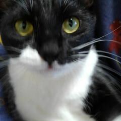 にゃんこ同好会/白黒猫/にゃんこ日めくり だんだんと朝が温かくなり起きるのも楽な朝…
