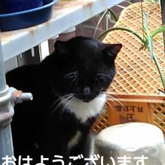 猫のいる暮らし/にゃんこ同好会/にゃんこ日めくり おはようございます 昨日よりましな涼しい…