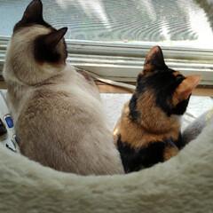 お昼寝/三姉弟猫/雨季ウキフォト投稿キャンペーン/フォロー大歓迎/LIMIAペット同好会/にゃんこ同好会/... 外では鳥達が大騒ぎ ルツとサラが眺めてい…