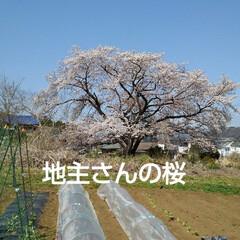 風景/花/花のある暮らし 地主さんの桜 青空によく似合っていた(1枚目)
