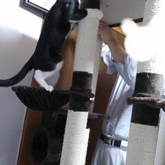 猫/お手伝い/キャットタワー/フォロー大歓迎/にゃんこ同好会/夏のお気に入り 去年8ヶ月になった頃 二階のキャットタワ…(4枚目)