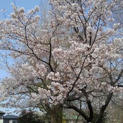 春/桜 うー君の桜が満開になってました(1枚目)