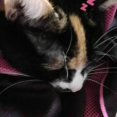 三毛猫 眠くて母の膝に来たのに マフラー巻いて遊…(4枚目)