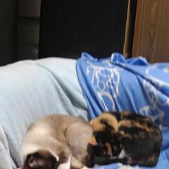 三姉弟猫/ねこ/にゃんこ同好会/猫のいる生活 昨日の夕方のひとこま 瑠月と沙羅が寝てる…(3枚目)
