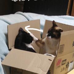 猫のいる生活/にゃんこ同好会/ねこ 箱入り息子と箱入り娘が喧嘩して 仲直りし…(1枚目)