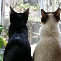ねこ/風景/姉弟猫/フォロー大歓迎/LIMIAペット同好会/にゃんこ同好会 お外見張り隊 その一 サム隊長がルツ隊員…