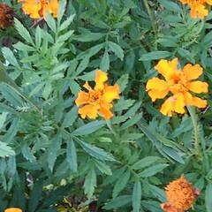 フラワー/風景/花のある暮らし お隣から秋(コスモス)を頂きました 倒す…(7枚目)