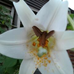 フラワー/風景/花のある暮らし お隣から秋(コスモス)を頂きました 倒す…(5枚目)