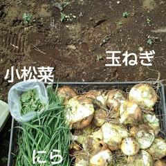 「昨日の畑仕事 モロヘイヤ、おくらの苗、植…」(1枚目)