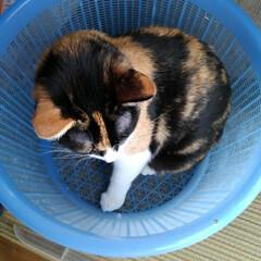 三毛猫/にゃんこ同好会 お洗濯物が終わるとみんなかごに入って 運…