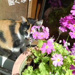 三毛猫/猫のいる生活/ねこ/にゃんこ同好会 紗羅が秘密の場所でお昼寝😻💤💤💤(2枚目)