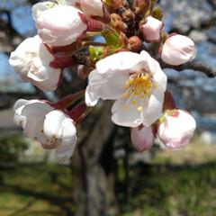 風景/花/花のある暮らし 地主さんの桜 青空によく似合っていた(6枚目)