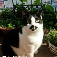 猫のいる生活/猫の気持ち/にゃんこ同好会/白黒猫 こんにちは 次女の家の3姉弟の紹介します…