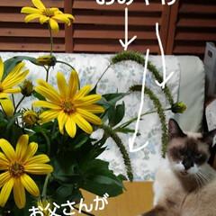 ねこのいる生活/ねこ/にゃんこ同好会/花がある暮らし お父さんが畑から にゃんずに猫じゃらしを…(1枚目)