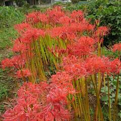 風景/秋の花/彼岸花/朱色/フォロー大歓迎 身近にあった超綺麗な彼岸花の群生  この…