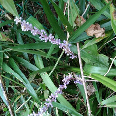 風景 畑にある百合の花  これは夏の終わりに咲…(6枚目)