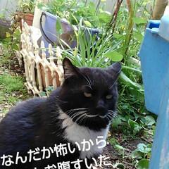 猫のいる生活/白黒猫/にゃんこ同好会/にゃんこ日めくり おはようございます🙀 サムト君がパトロー…(5枚目)