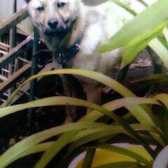犬/フォロー大歓迎/LIMIAペット同好会/わんこ同好会/見張り隊 見張り隊 外勤務の幼い頃のうー隊員
