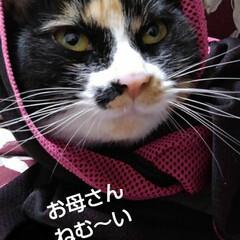 三毛猫 眠くて母の膝に来たのに マフラー巻いて遊…(3枚目)
