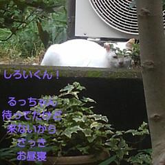 リミアペット同好会/猫/シャム/フォロー大歓迎 すれ違いに待っていた 可愛いカップルの待…(7枚目)