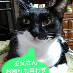 白黒猫/フォロー大歓迎 慌てて起きてお父さんにご挨拶 お父さんに…
