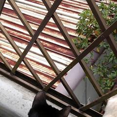 三姉弟猫/ベランダ/にゃんこ同好会 昨日の事 温かい午後ベランダから 下にい…(2枚目)