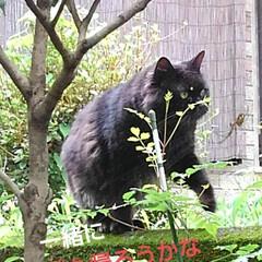 猫のいる生活 昨日 夕方の散歩に行く前な事  黒井さん…(7枚目)