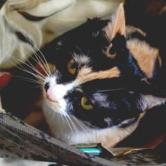 仲良し/姉弟猫/かばん入り娘&息子/令和元年フォト投稿キャンペーン/フォロー大歓迎/LIMIAペット同好会/... サラが開いていた鞄に入ると サムもサラが…