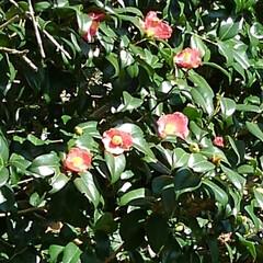 ツバキ/秋の花/お出かけ お出かけ先の大きな椿の木 真っ赤な花がい…
